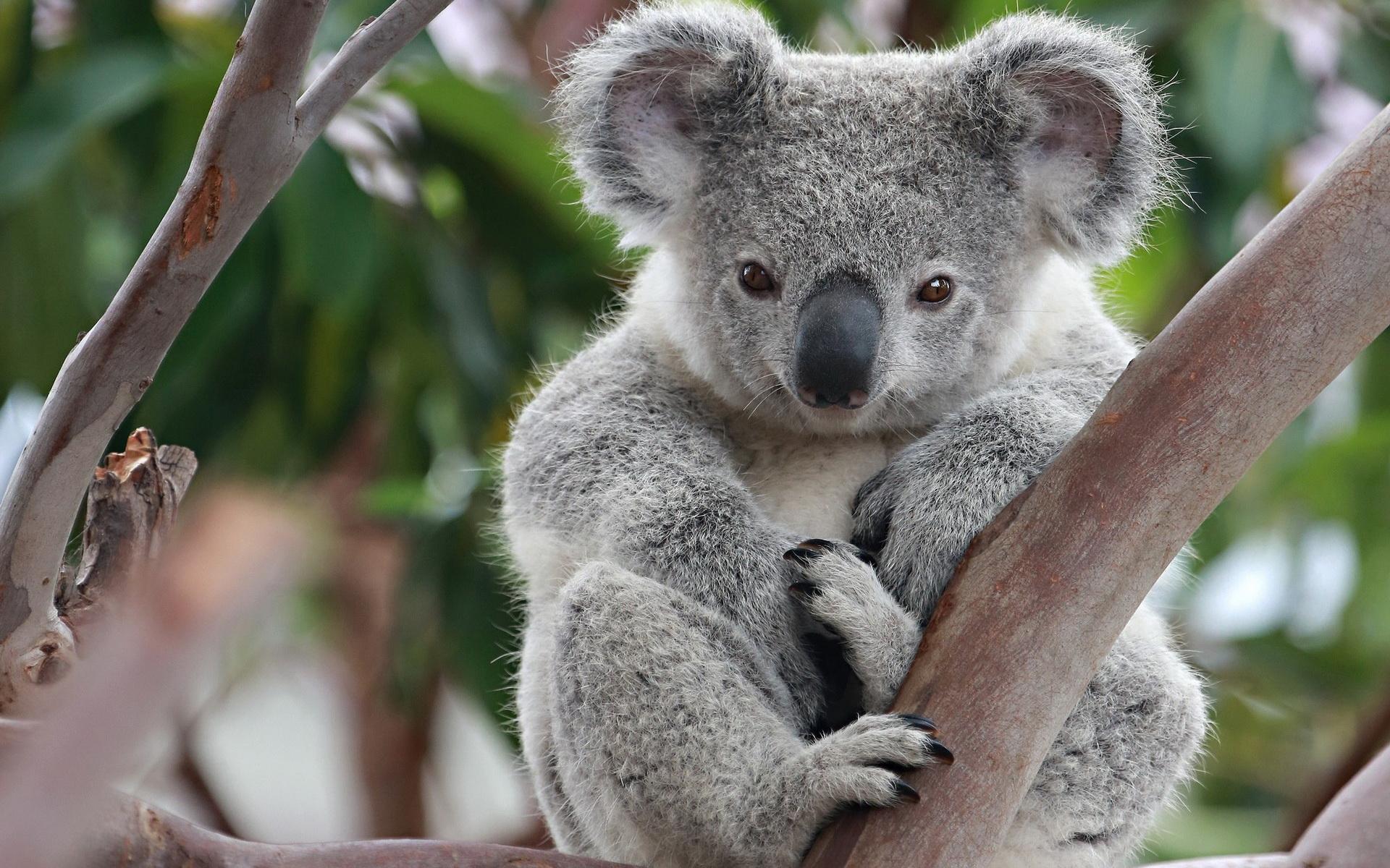 1920x1200 > Koala Wallpapers