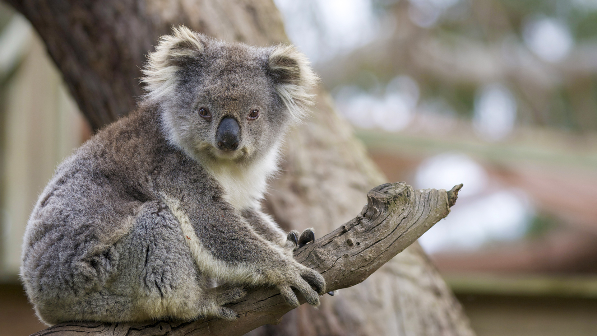 1920x1080 > Koala Wallpapers
