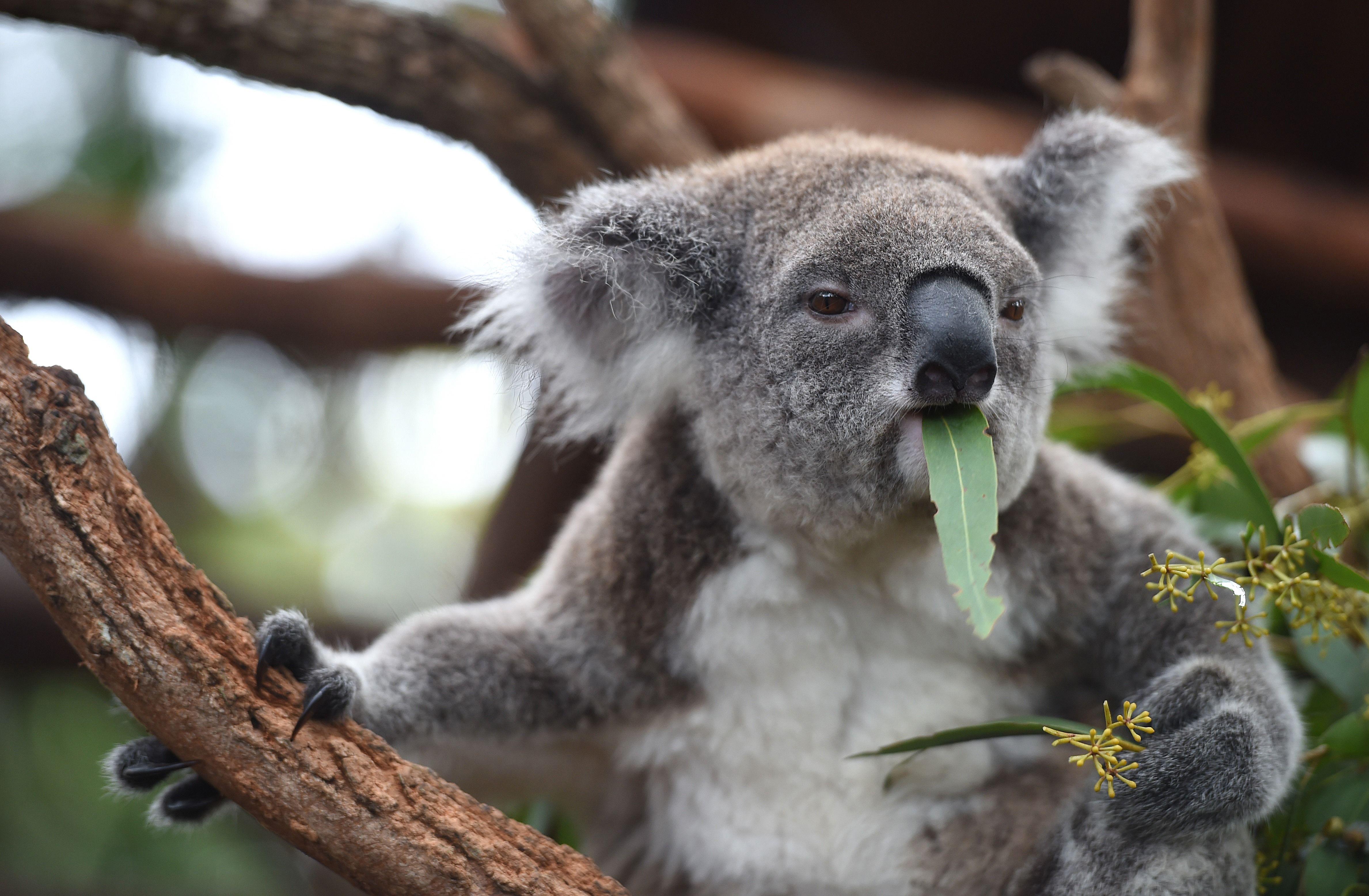 Images of Koala | 4755x3113