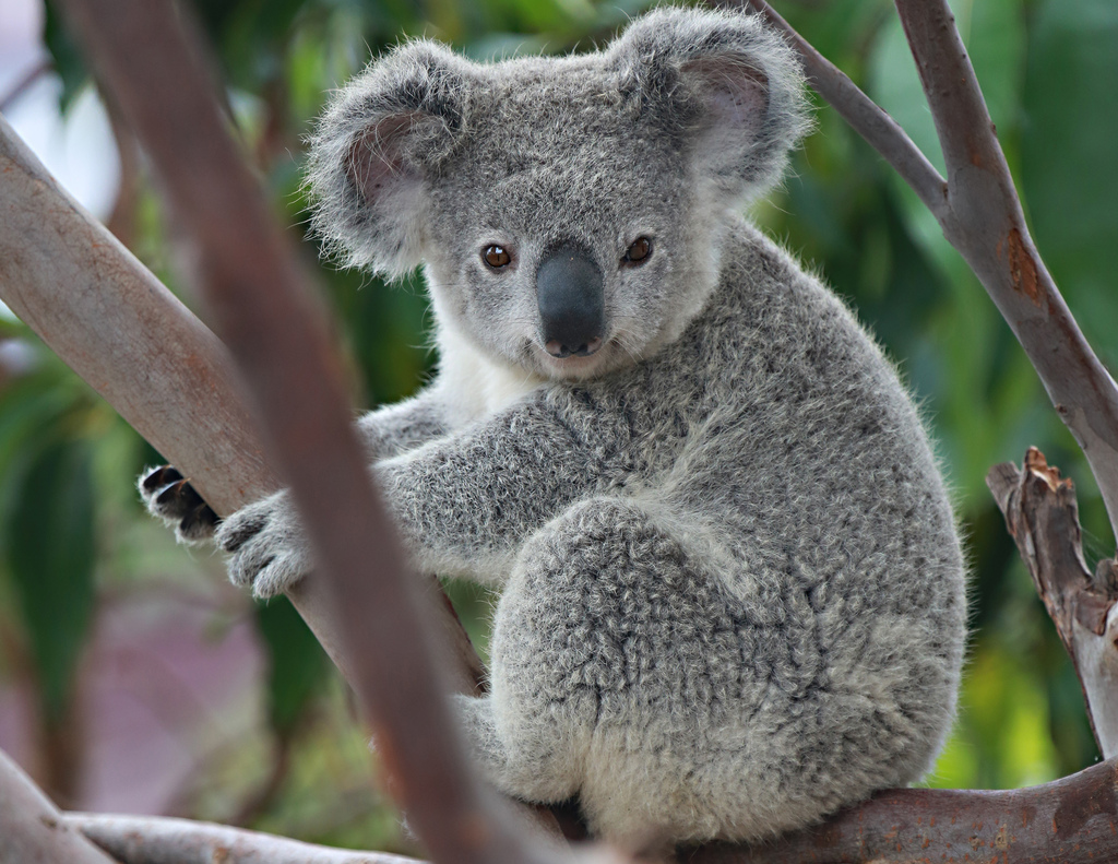 Koala High Quality Background on Wallpapers Vista