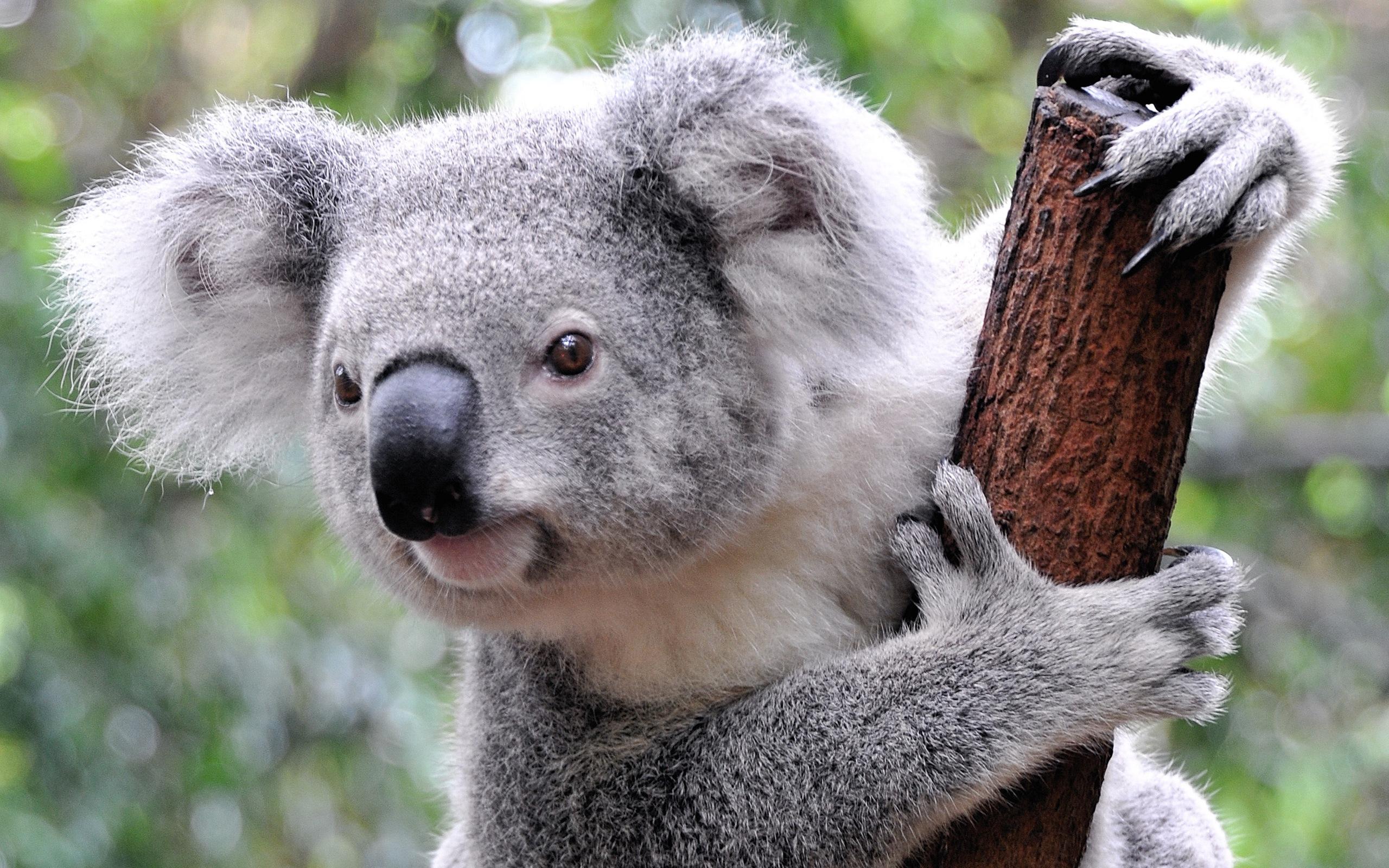 Images of Koala | 2560x1600