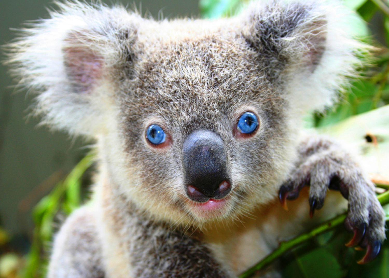 Koala Pics, Animal Collection