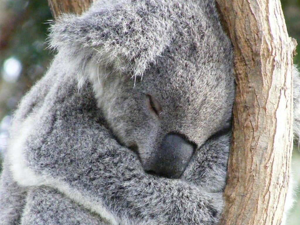 HD Quality Wallpaper | Collection: Animal, 1024x768 Koala