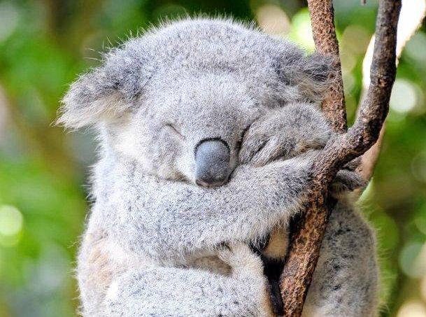 Images of Koala | 609x453