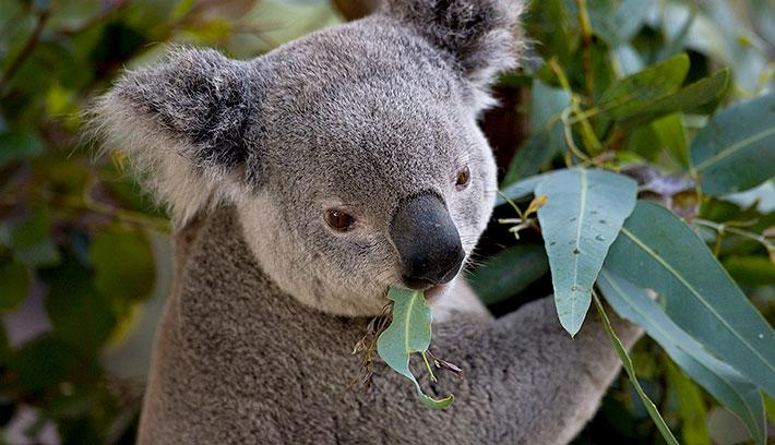 710x408 > Koala Wallpapers
