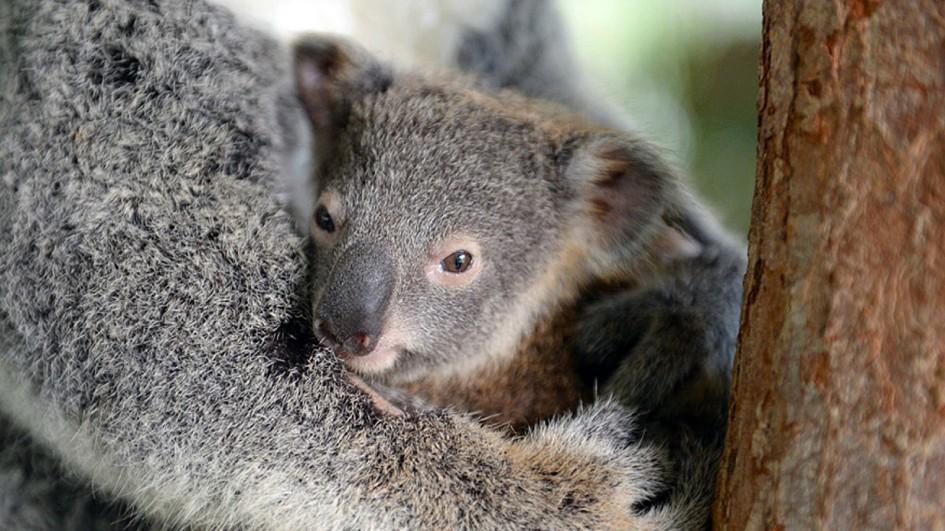 Koala Backgrounds, Compatible - PC, Mobile, Gadgets| 945x531 px