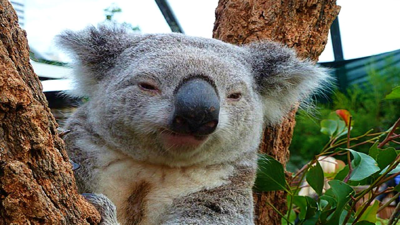 Koala Backgrounds on Wallpapers Vista
