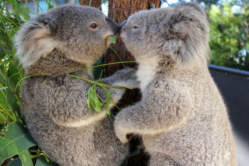 Nice wallpapers Koala 800x533px