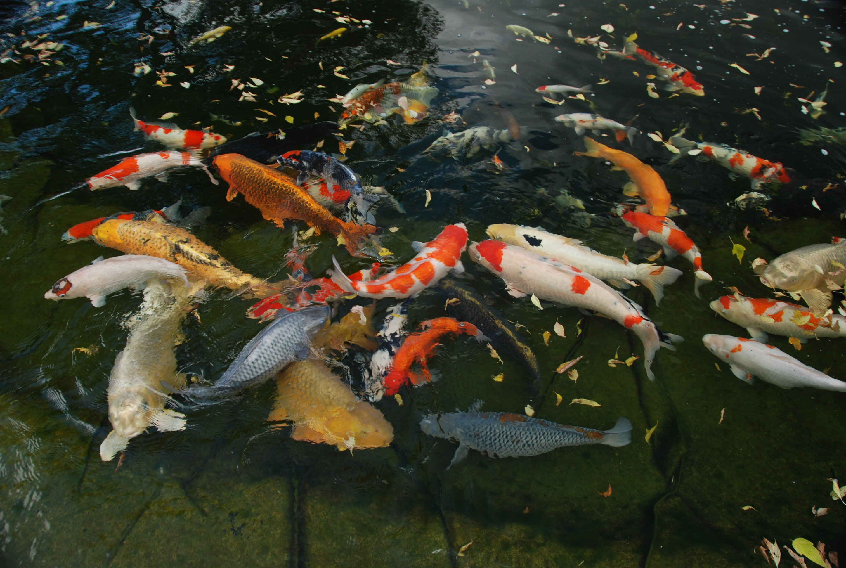 Koi HD wallpapers, Desktop wallpaper - most viewed
