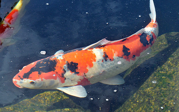 Images of Koi | 620x387