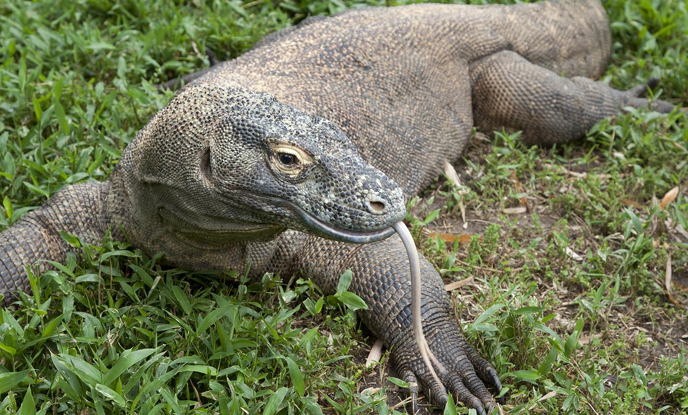 Komodo Dragon Pics, Animal Collection