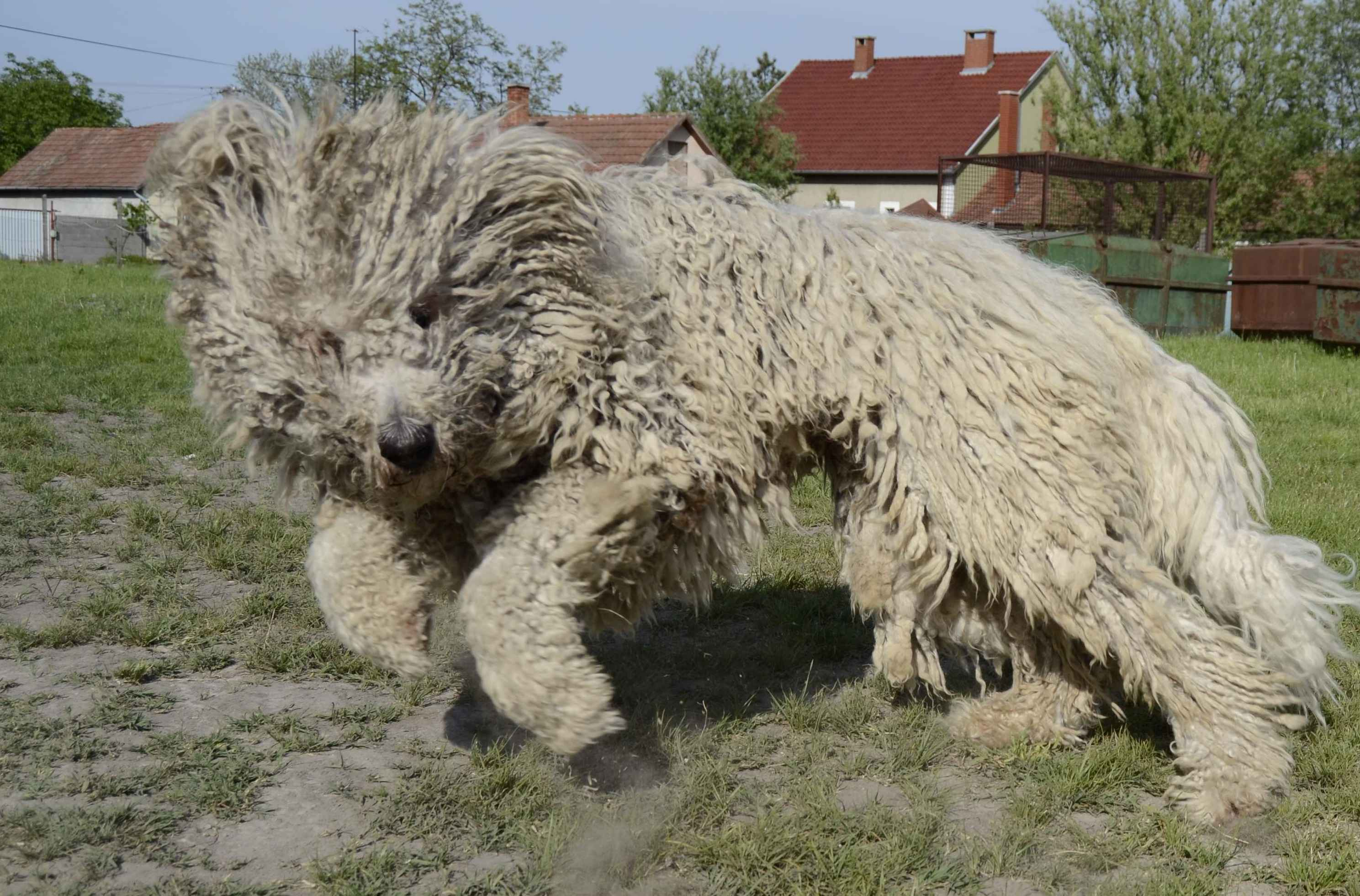 Komondor Pics, Animal Collection