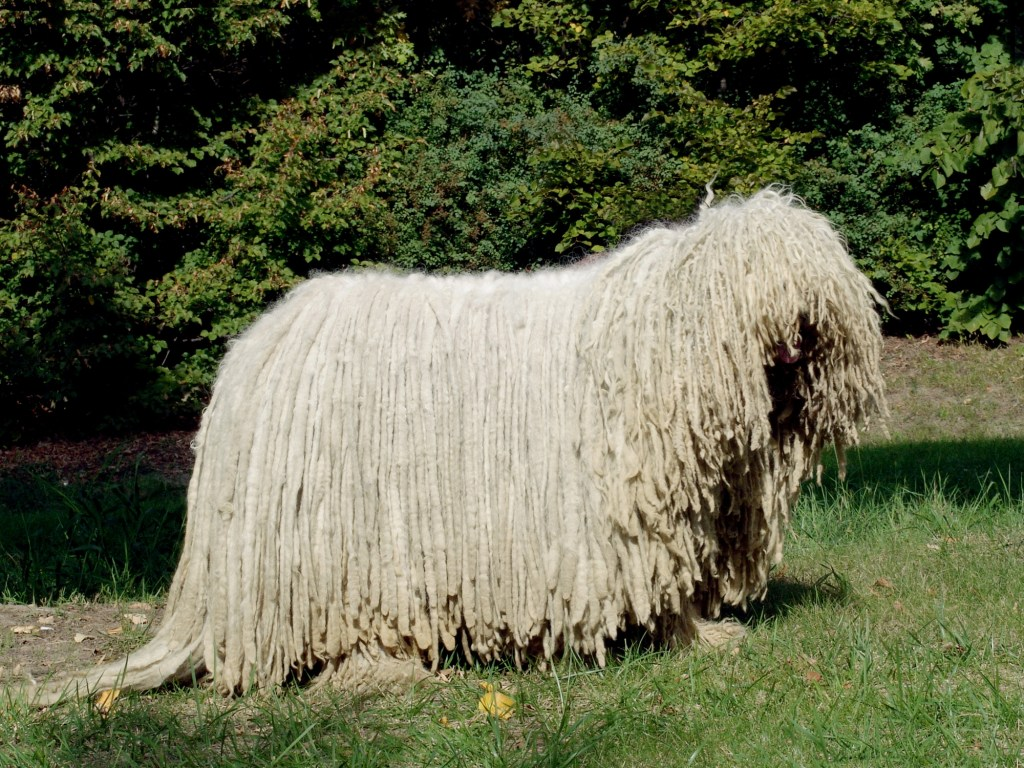 Komondor Backgrounds, Compatible - PC, Mobile, Gadgets| 1024x768 px