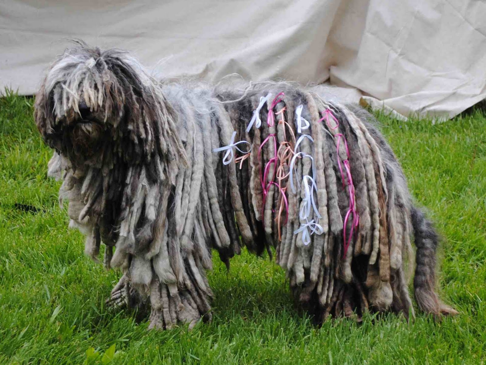 Nice Images Collection: Komondor Desktop Wallpapers