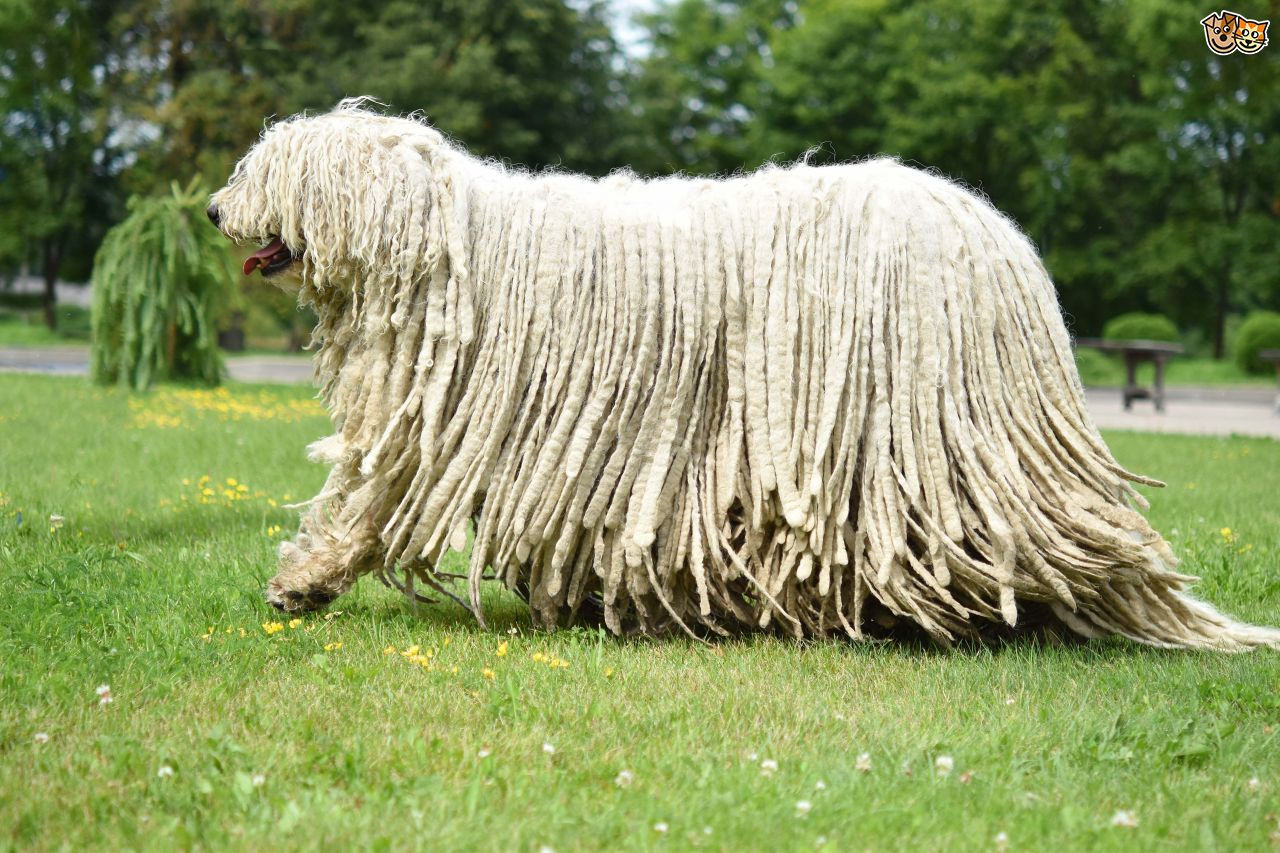 Komondor Backgrounds, Compatible - PC, Mobile, Gadgets| 1280x853 px