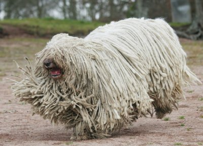 High Resolution Wallpaper | Komondor 400x287 px