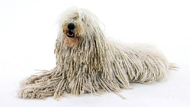 Komondor HD wallpapers, Desktop wallpaper - most viewed