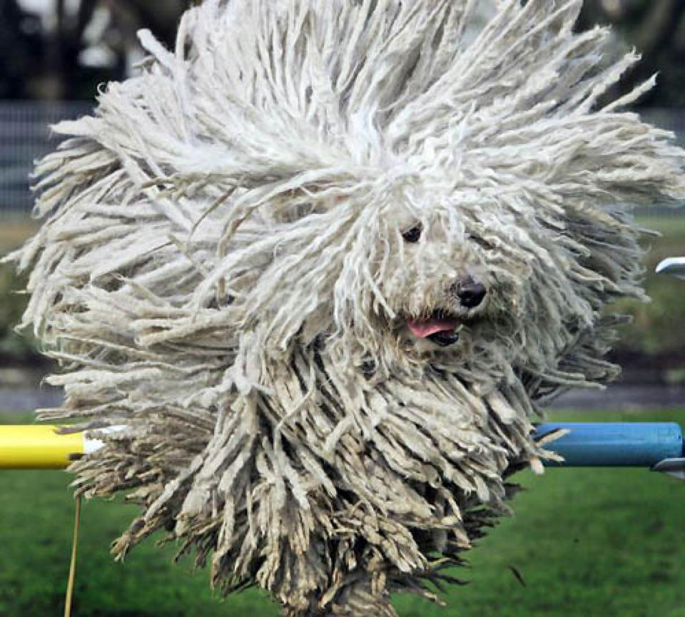Nice wallpapers Komondor 960x865px