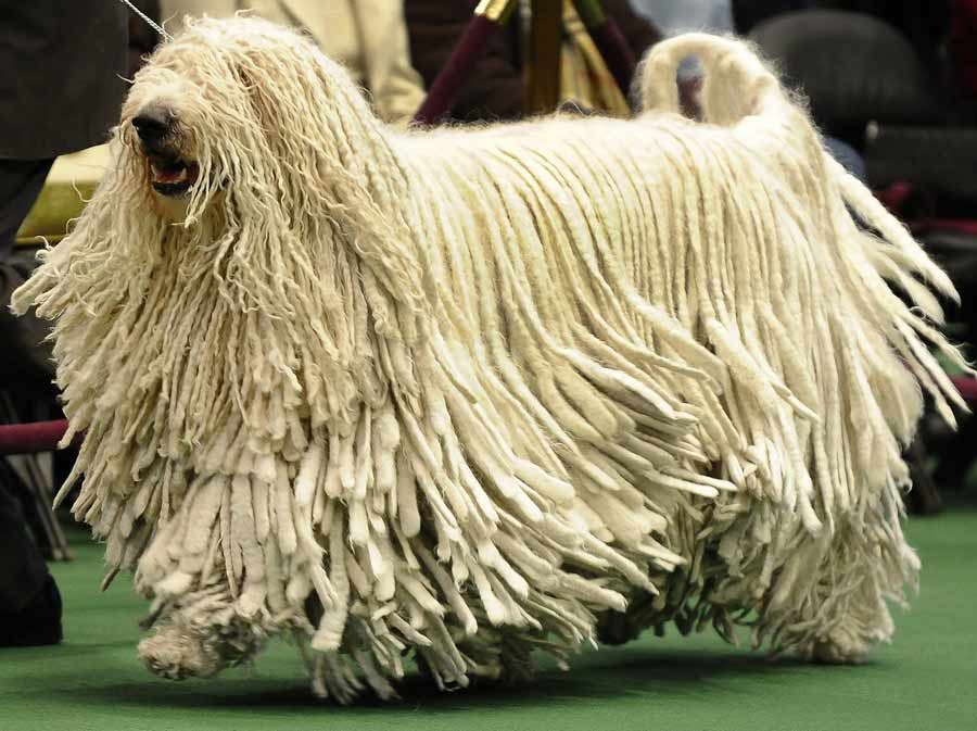Komondor Backgrounds on Wallpapers Vista
