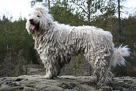 Images of Komondor | 280x187