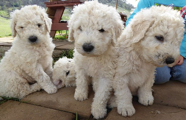 Images of Komondor | 597x388
