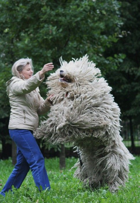 Nice wallpapers Komondor 485x700px