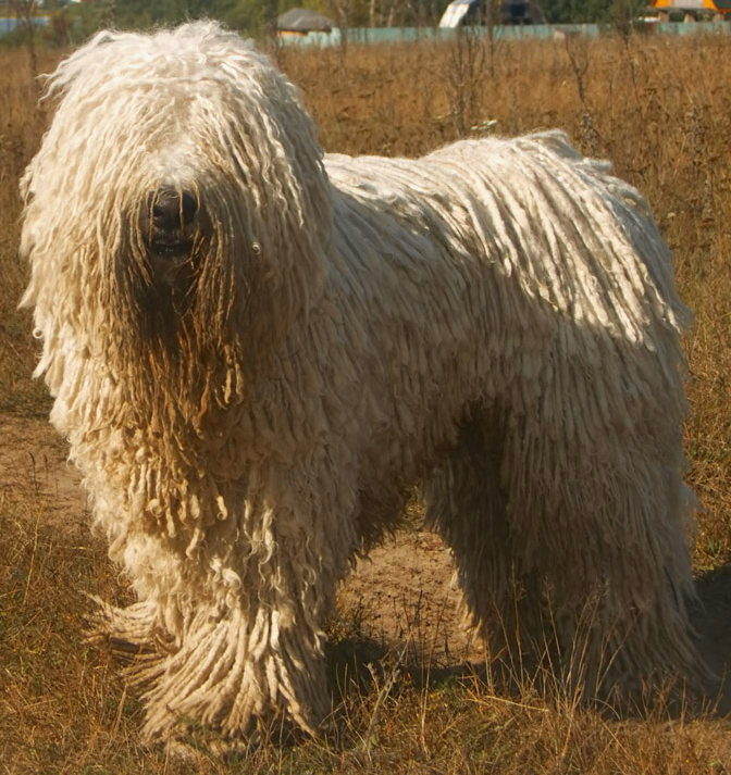 Amazing Komondor Pictures & Backgrounds