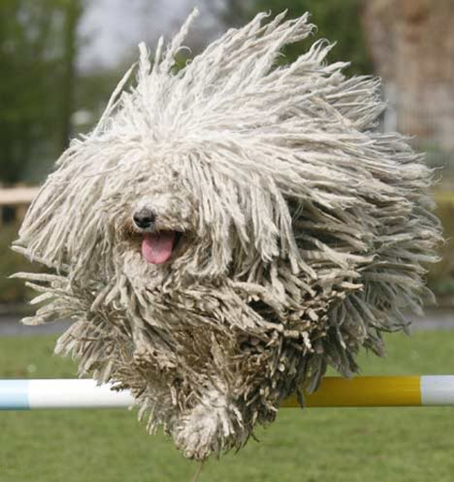 HD Quality Wallpaper | Collection: Animal, 499x530 Komondor