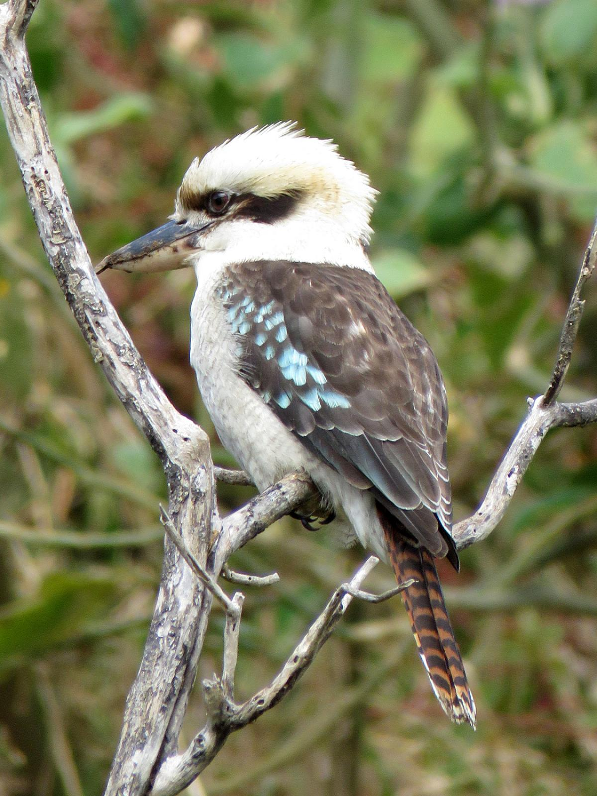 1200x1600 > Kookaburra Wallpapers