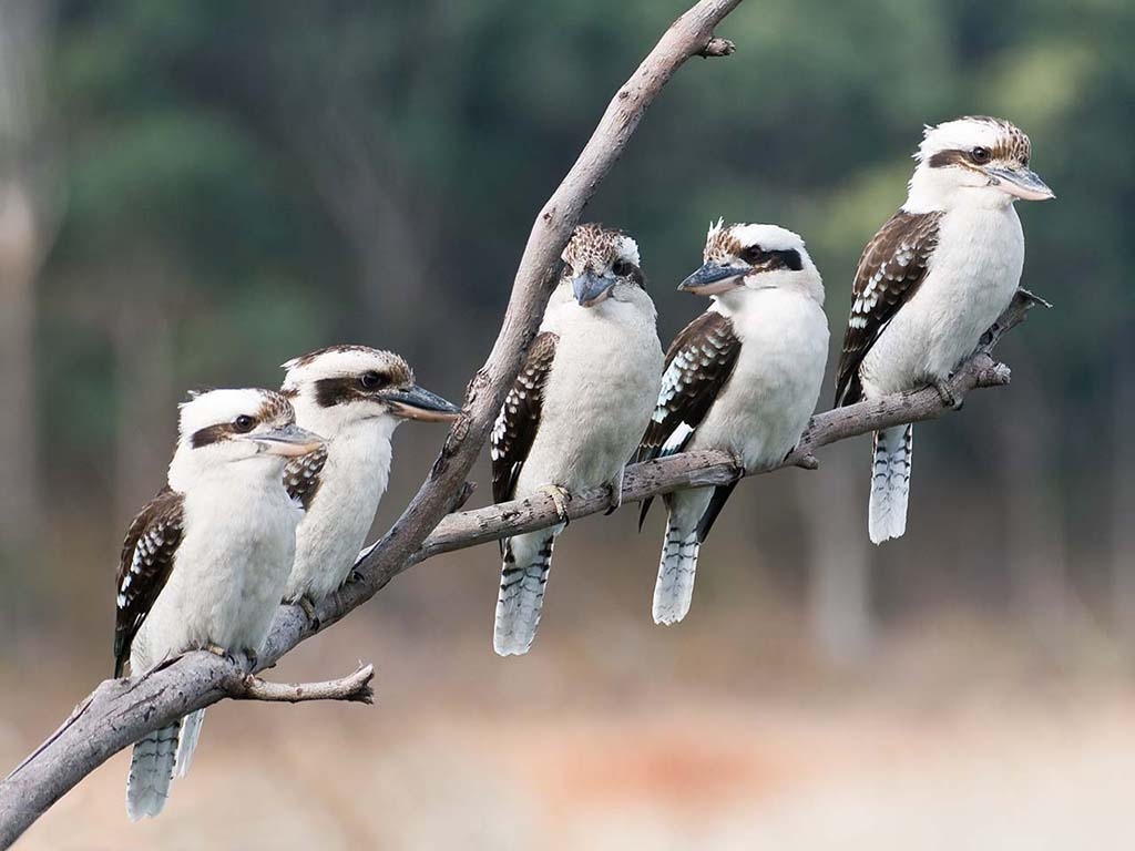 Kookaburra Pics, Animal Collection