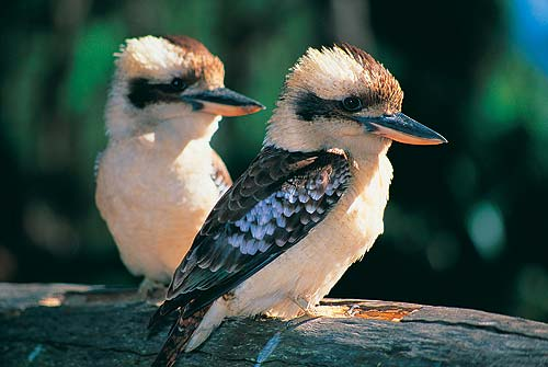 Kookaburra Pics, Animal Collection