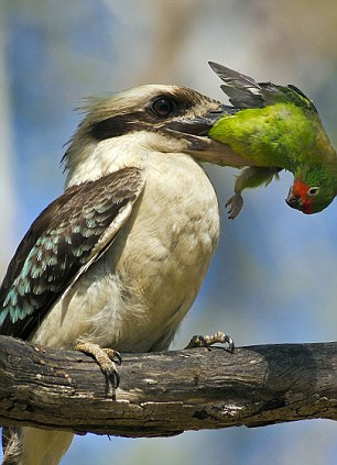 Kookaburra Backgrounds on Wallpapers Vista