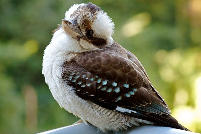 700x467 > Kookaburra Wallpapers