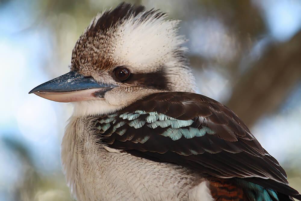 Images of Kookaburra | 1000x667