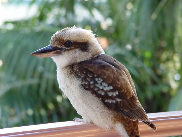 Kookaburra High Quality Background on Wallpapers Vista