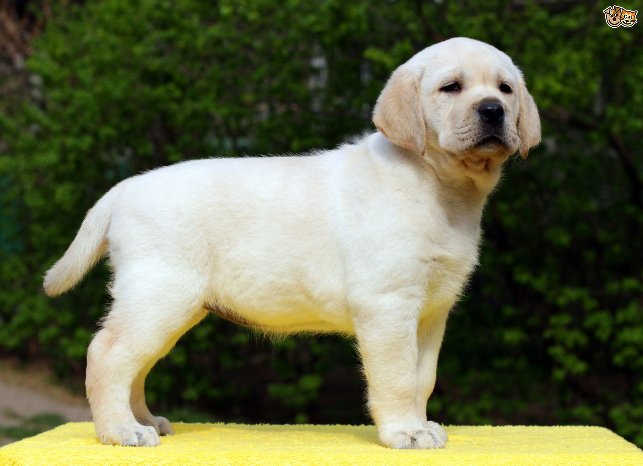 Labrador HD wallpapers, Desktop wallpaper - most viewed