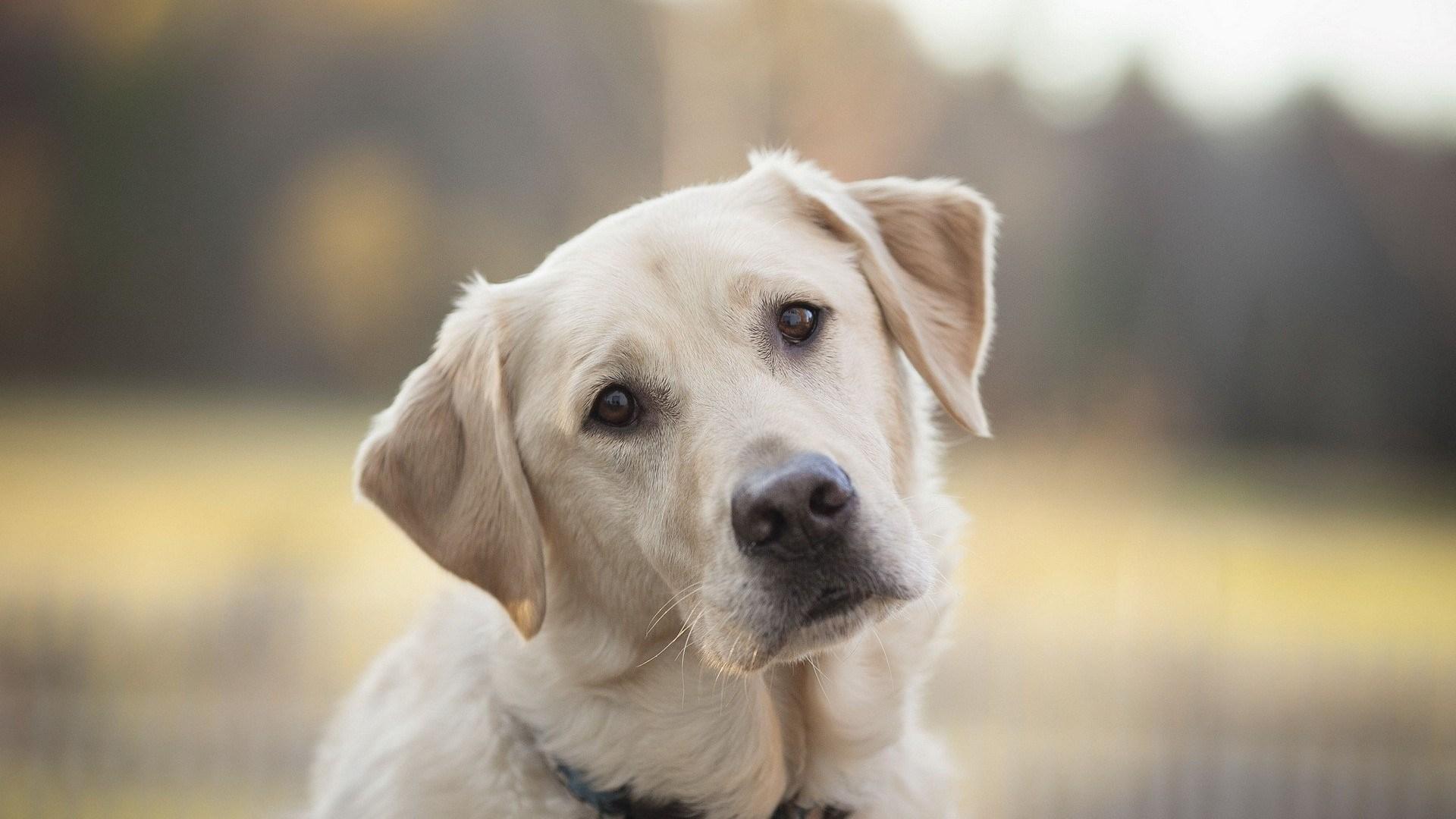 Images of Labrador Retriever | 1920x1080