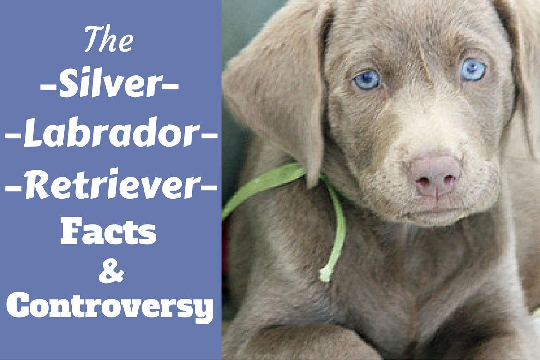 Labrador Retriever Pics, Animal Collection