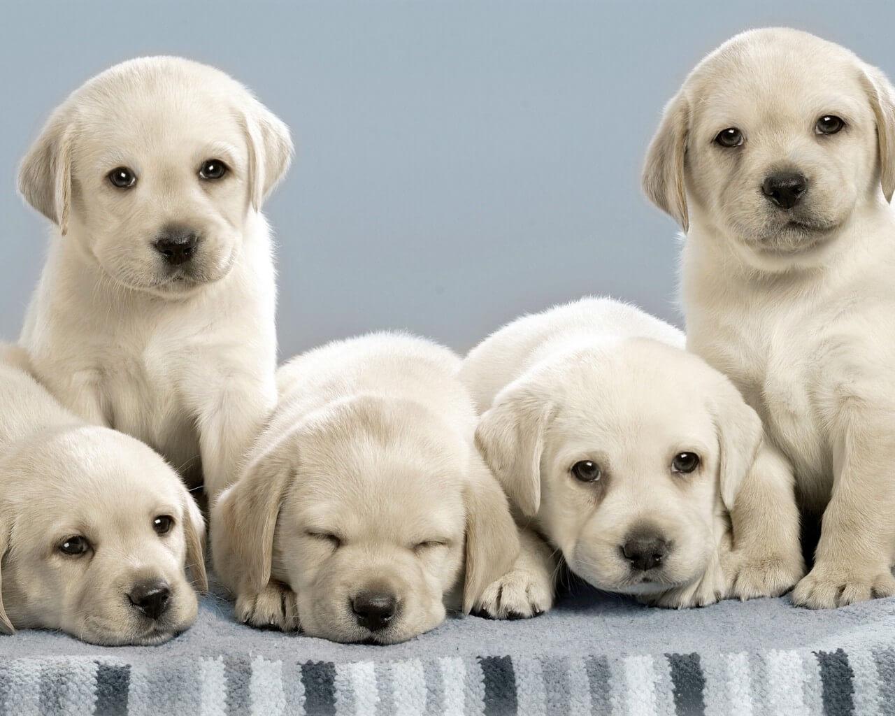 Labrador Retriever Backgrounds, Compatible - PC, Mobile, Gadgets| 1280x1024 px