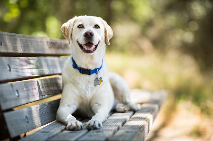 HD Quality Wallpaper | Collection: Animal, 680x453 Labrador Retriever