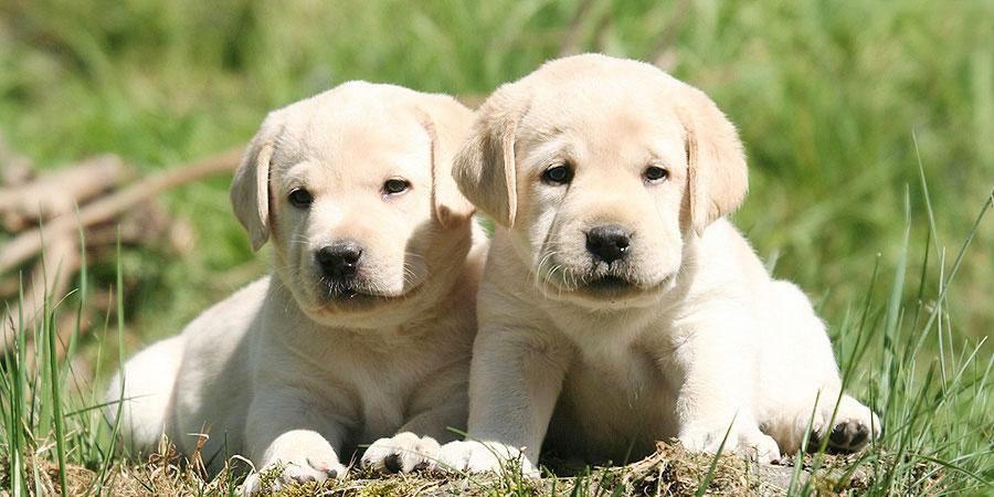 Nice Images Collection: Labrador Retriever Desktop Wallpapers
