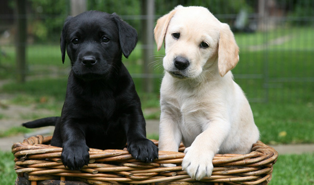 Labrador Backgrounds on Wallpapers Vista