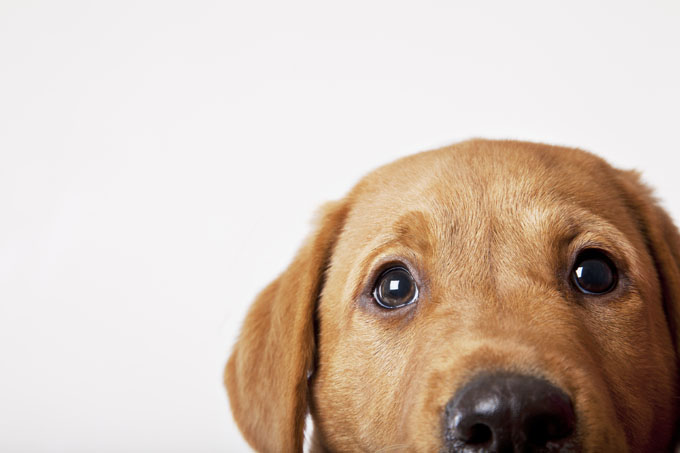 HD Quality Wallpaper | Collection: Animal, 680x453 Labrador