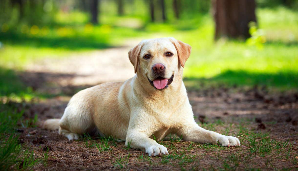 Labrador Backgrounds, Compatible - PC, Mobile, Gadgets| 1220x701 px