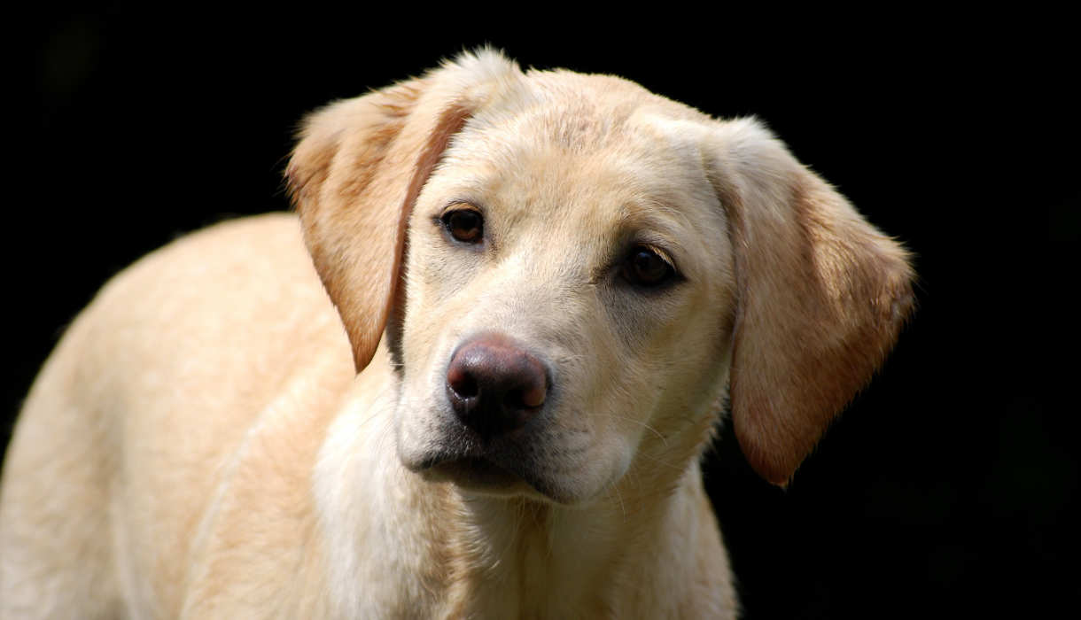 Labrador Pics, Animal Collection