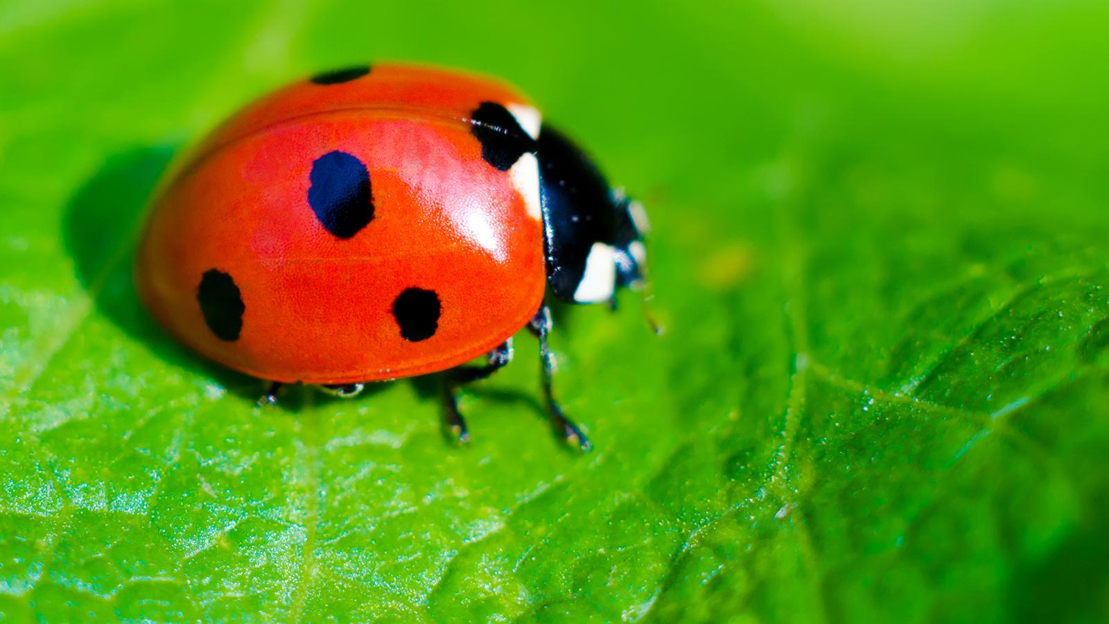 HQ Ladybug Wallpapers | File 1044.57Kb