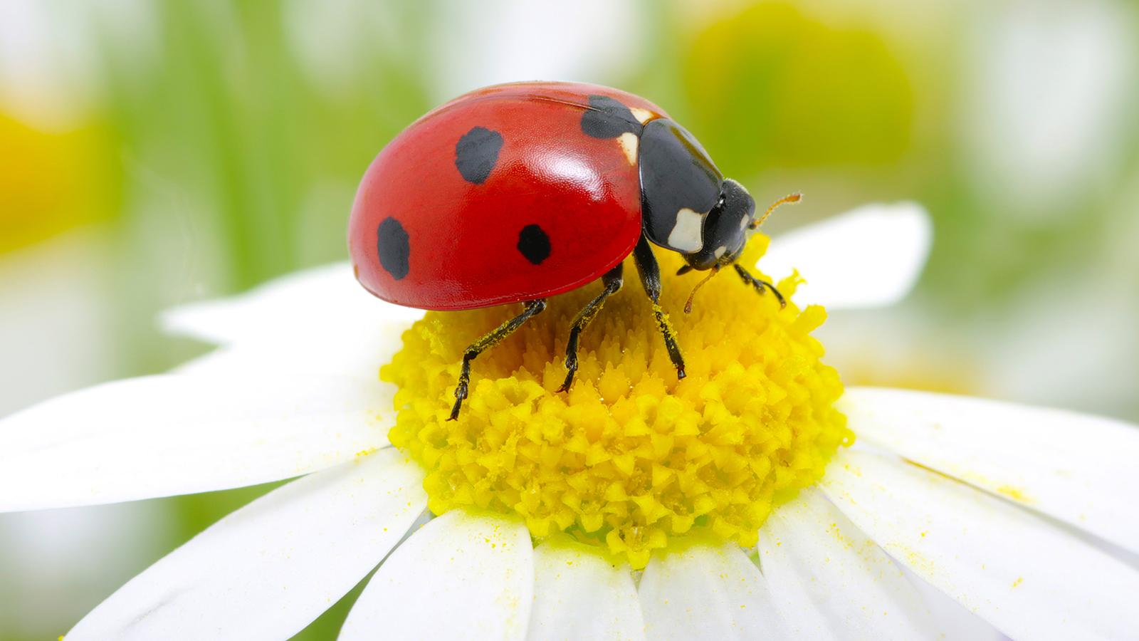 High Resolution Wallpaper | Ladybug 1600x900 px