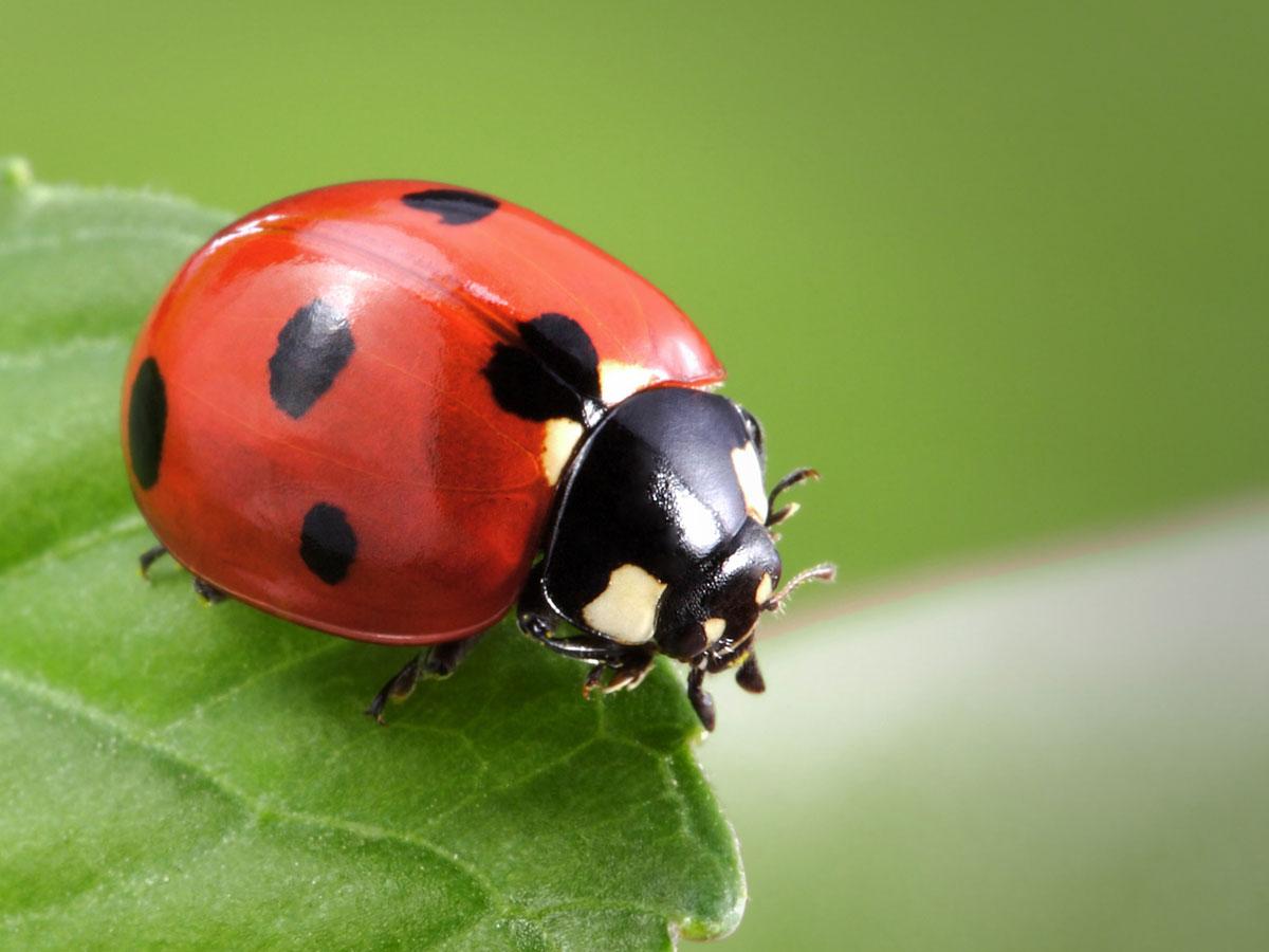 Nice wallpapers Ladybug 1200x900px