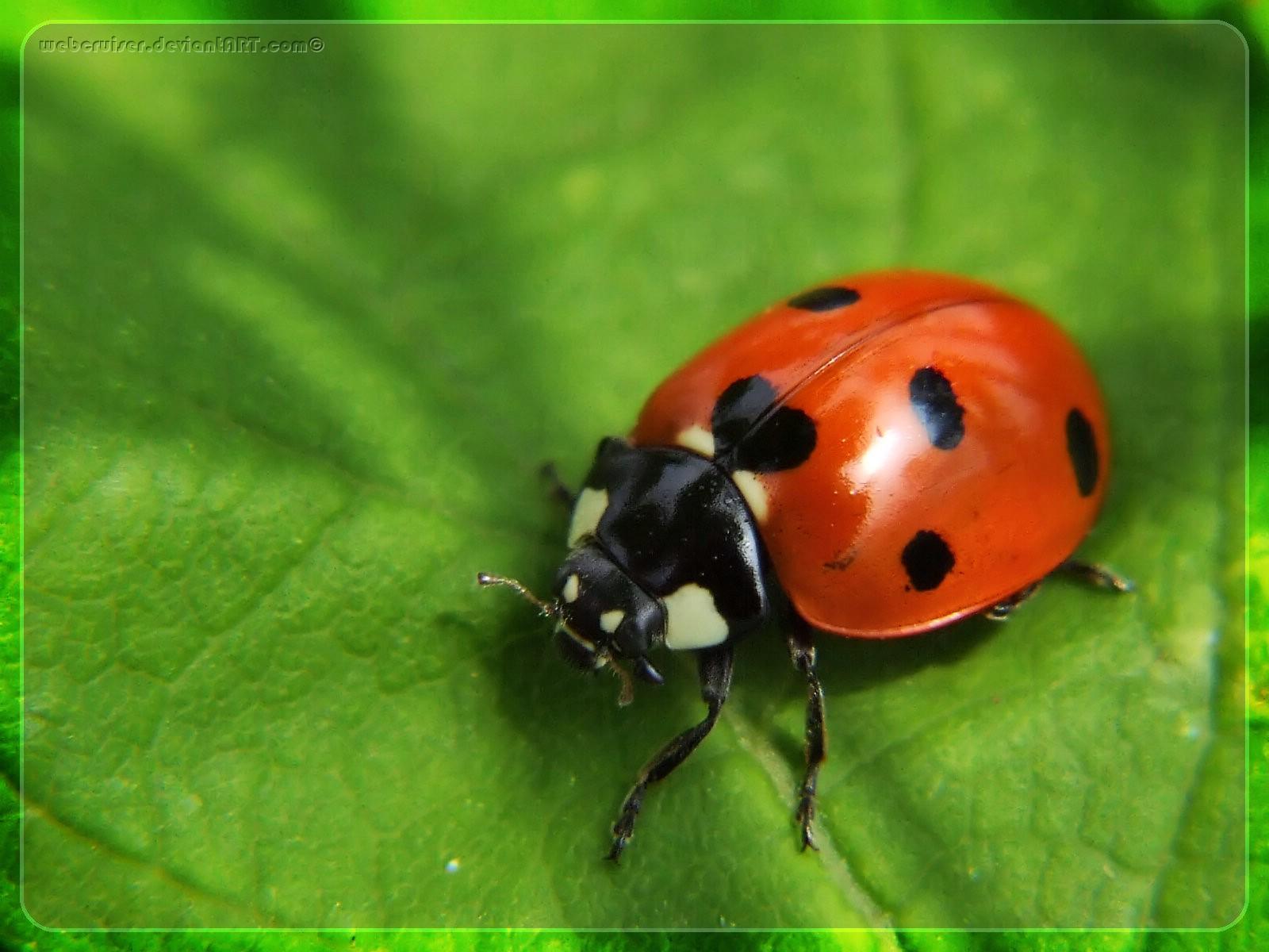 Ladybug Backgrounds, Compatible - PC, Mobile, Gadgets| 1600x1200 px