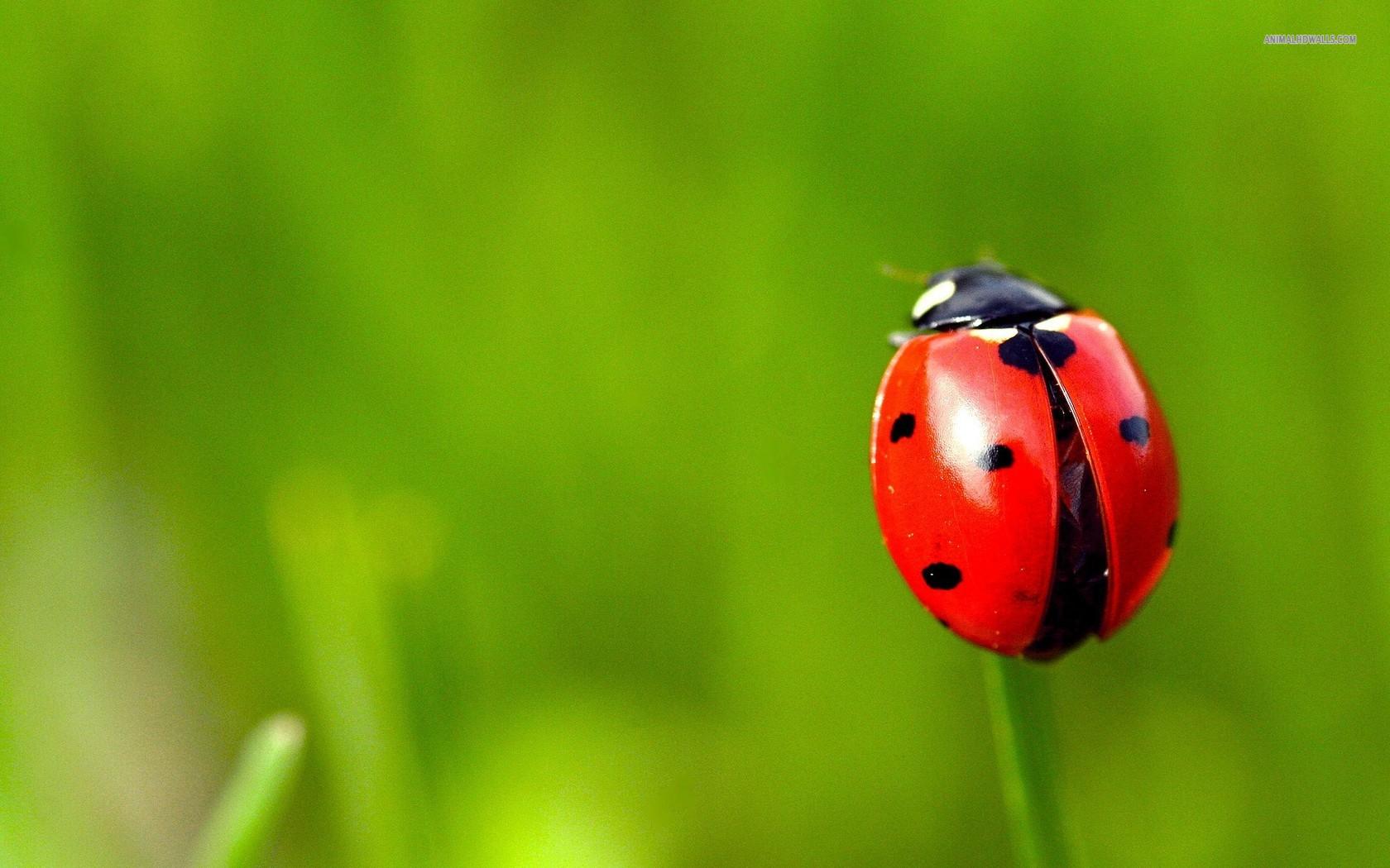 HD Quality Wallpaper | Collection: Animal, 1680x1050 Ladybug